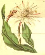 Figured are are flattened, wavy, succulent  leaves and large white, red-tinged flower. Curtis's Botanical Magazine t.3813, 1841.
