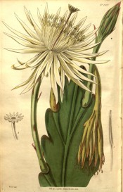 Figured are smooth, leaf-like, scallop-edged branch and large white flower.  Curtis's Botanical Magazine t.2692, 1826.