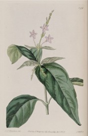 Figured are glossy lance-shaped leaves and terminal spike of small mauve flowers. Botanical Register f.879, 1825.