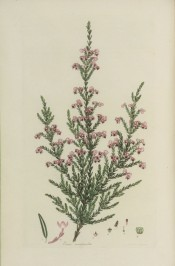 The image shows a heath with clusters of dark pink, cup-shaped flowers with a dark centre.  Andrews 'Heaths' v.III, p.157, 1809.