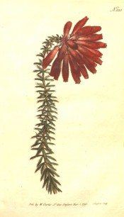 The image shows a heath with a terminal cluster of bright red tubular flowers.  Curtis's Botanical Magazine t.220, 1793.