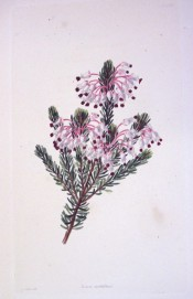The image shows a heath with terminal pinkish-white flowers with red stamens.  Loddiges Botanical Cabinet no.1572, 1831.