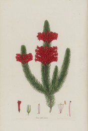 The image shows a heath with bright red flowers clustered at the top of shoots.  Andrew's, Heaths, v.1, p.70, 1802.