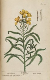 Illustrated is a shoot with long, tapering leaves and single yellow flowers.  Blackwell pl.179, 1737.