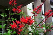 Illustrated are flowering spikes with bright vermillion flowers with Camden Park House in the background.  CM.