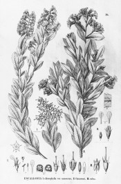 An uncoloured lithograph showing 3 plants  with flowers and flower details.  Flora Brasiliensis vol.14, part 2, pl.36/1840-1906.