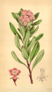 Figured are ovate, toothed leaves and terminal panicle of rose-coloured flowers.  Curtis's Botanical Magazine t.4274, 1846.