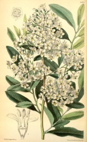 Figured are oval, finely toothed leaves and dense terminal panicle of white flowers.  Curtis's Botanical Magazine t.6404, 1879.