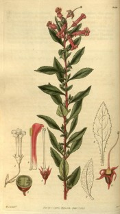Illustrated are toothed, glossy leaves and panicles of tubular, dark pink flowers.  Curtis's Botanical Magazine t.2890, 1829.