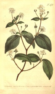 Figured are ovate-lance-shaped leaves and solitary white flowers at the base of shoots.  Curtis's Botanic Magazine t.473, 1800.