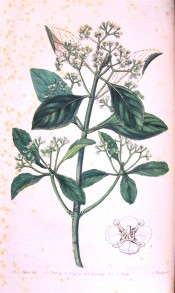 Illustrated are the toothed, obovate leaves and tiny white flowers.  Botanical Register f.6, 1844.