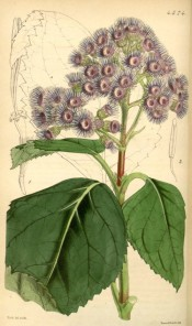 The image shows ovate, toothed leaves  and terminal corymbs of violet flowers.  Curtis's Botanical Magazine t.4574, 1851.