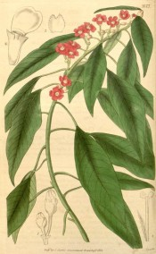 Shown are the glossy lance-shaped leaves and scarlet flower-like bracts.  Curtis's botanical Magazine t.3673, 1838.