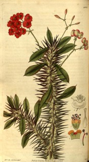 Figured is a very spiny stem, lance-shaped leaves and axillary cymes of red flowers.  Curtis's Botanical Magazine t.2902, 1829.