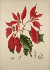 Figured are lobed leaves, bright red leaf-like bracts and tiny red flowers.  van Nooten.