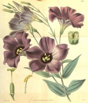 Depicted are lance-shaped leaves and upright, mauve-purple, trumpet-shaped flowers.  Curtis's Botanical Magazine t.3626, 1838.