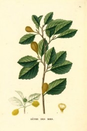 Illustrated are the elliptic, wavy-margined leaves and mature fruit.  Saint-Hilaire Arb. pl.37, 1824.