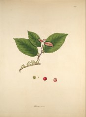 The image shows a flowering shoot with ovate, toothed leaves and details of the red fruit.  Roxburgh vol.3, pl.222, 1795-1819.