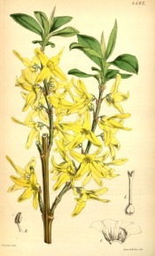 The image shows leaves and bright yellow flowers.  Curtis's Botanical Magazine t.4587, 1851.