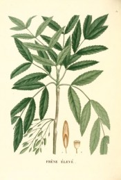 The image shows a twig with toothed, pinnate leaves and winged seeds.  Saint-Hilaire Arb. pl.32, 1824.
