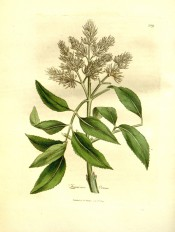 Figured are the pinnate, toothed leaves and panicle of creamy-white flowers.  Medical Botany p.589, pl.209, 1832.