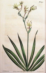 Figured are sword-shaped leaves and a zigzag stem,bearing many green flowers.  Curtis's Botanical Magazine t.1275, 1810.