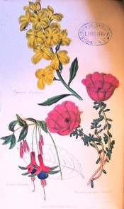 Figured is a single fuchsia with crimson, green-tipped sepals and purple corolla.  Floricultural Cabinet p.266/1839.