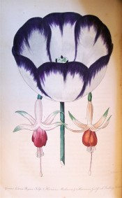 Figured is a fuchsia with white tube and green-tipped sepals, and orang corolla.  Floricultural Cabinet p.226, 1843.