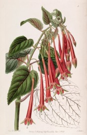 Shown are leaves and flowers with pink tubes, green-tinged red sepals and bright red corollas.  Botanical Register f.1, 1838.