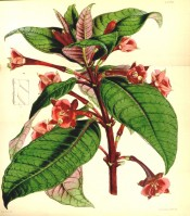 Shown are bright green leaves, red on reverse, and red flowers with white stamens.  Curtis's Botanical Magazine t.4375, 1848.