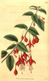 Depicted is a flowering shoot with rounded, flowers, sepals scarlet, corolla purple.  Curtis's Botanical Magazine t.3364, 1834.
