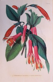 Figured is a fuchsia with long pink tubes, green-tipped sepals and orange corolla.  British Florist pl.80, 1845.