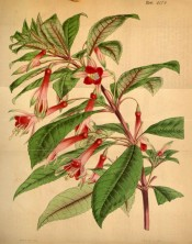 Figured are flowers with pink tubes and sepals, and orange to vermillion corolla.  Curtis's Botanical Magazine t.4174, 1845.