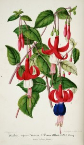 Three fuchsias are figured, two with red sepals and white corolla, one with purple corolla.  Illustration Horticole p.42, 1855.