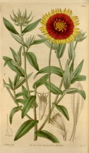 Figured are lance-shaped leaves and red, yellow-tipped daisy flowers.  Curtis's Botanical Magazine t.3551, 1834.