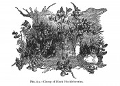 The black and white image shows a clump of small shrubs with round berries.  The American Fruit Culturist p.612, 1920.