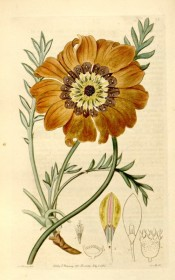 Figured are the divided leaves and yellow, brown and white daisy-like flowers.  Botanical Register f.35, 1815.