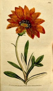 Figured are the divided leaves and bright orange daisy-like flowers.  Curtis's Botanical Magazine t.90, 1789.