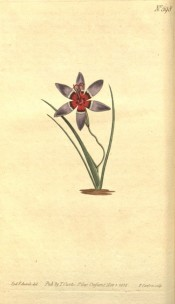 Shown are basal leaves and blue flower with a white-ringed, brown to purple centre.  Curtis's Botanical Magazine t.598, 1802.