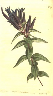The image shows lance-shaped leaves and deep purple, narrowly vase-shaped flowers.  Curtis's Botanical Magazine t.1078, 1808.