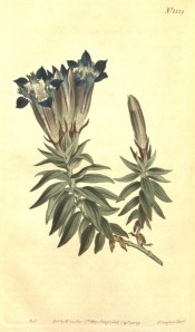 Depicted are lance-shaped leaves and upright, blue and white, vase-shaped flowers.  Curtis's Botanical Magazine t.1229, 1809.