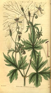 The image shows a geranium with deeply cut leaves and small white flowers.  Curtis's Botanical Magazine t.3124, 1832.