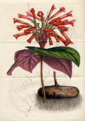 Figured are heart-shaped leaves, purple beneath, and tall spikes of tubular scarlet flowers.  Flore des Serres f.704-705, 1852.