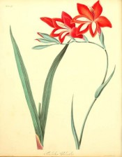 Figured are lance-shaped leaves and funnel-shaped , bright red flowers with a white flash.  Roscoe pl.41, 1831.