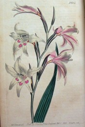 Shown are a lance-shaped leaf and spike of funnel-shaped white, pink-flushed flowers.  Curtis's Botanical Magazine t.625, 1803.