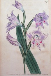 Figured are lance-shaped leaf and pale pink flowers with crimson spots.  Curtis's Botanical Magazine t.645, 1803.