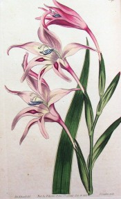 Figured are a lance-shaped leaf and spike of funnel-shaped pink flowers.  Curtis's Botanical Magazine t.591, 1802.
