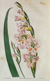 Figured are a  leaf and pink, purple suffused flowers with red and yellow markings.  Curtis's Botanical Magazine t.1575, 1813.
