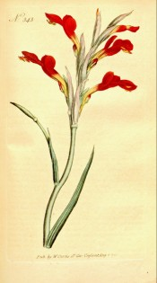 Figured is a spike of bright red flowers, yellow towards the base.  Curtis's Botanical Magazine t.343, 1795.