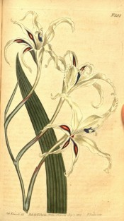 Figured are a  leaf and white flowers with red and blue markings.  Curtis's Botanical Magazine t.582, 1802.